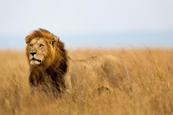 Lion in field